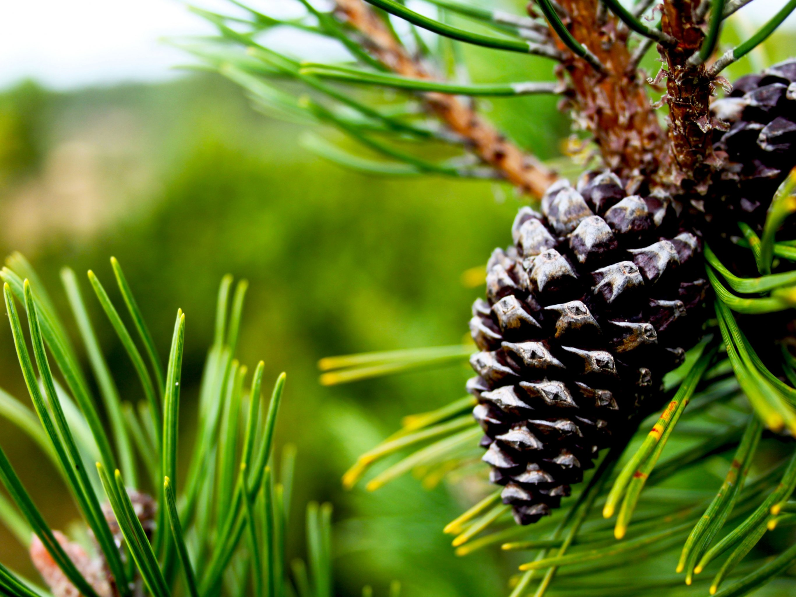 Pine cone wallpaper mobile desktop background for Pinecone wallpaper