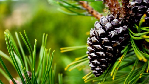 Pine Cone HD Desktop Wallpaper