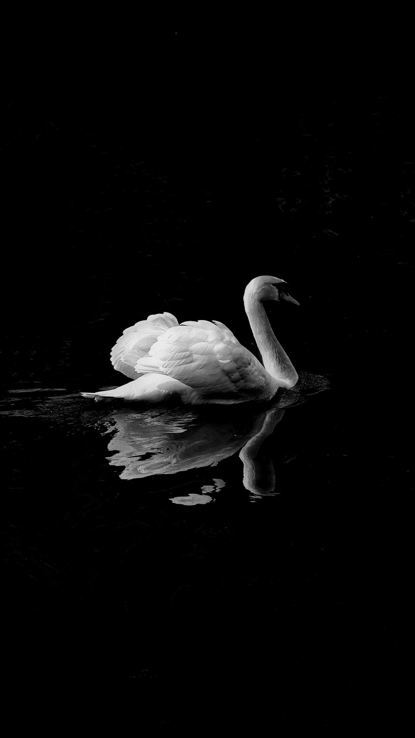 Swan Love Wallpapers Swan Love Wallpapers  Download Free on