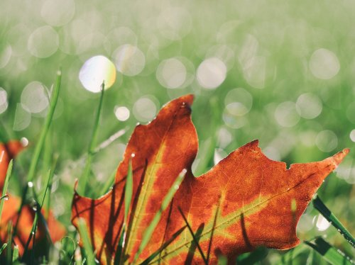 Maple Leaf in Grass  Wallpaper