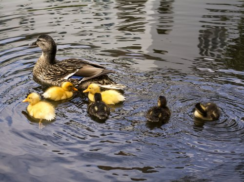 Ducklings on Water