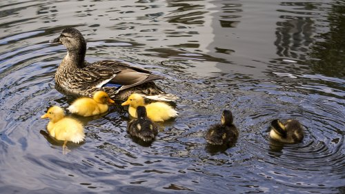 Ducklings on Water HD Wallpaper