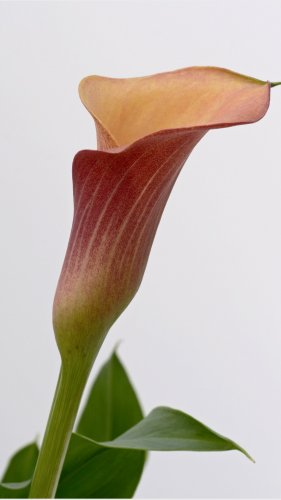 Calla Lily Mobile Wallpaper