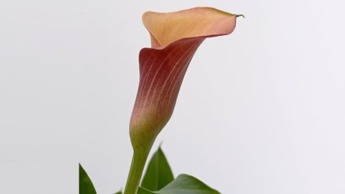 Calla Lily HD Wallpaper